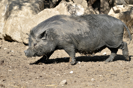 potbellied: Closeup female Vietnamese potbellied pig Sus scrofa domesticus walking on ground and viewed of profile