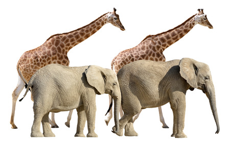 giraffa: Two giraffes and two African elephants walking isolated on white background