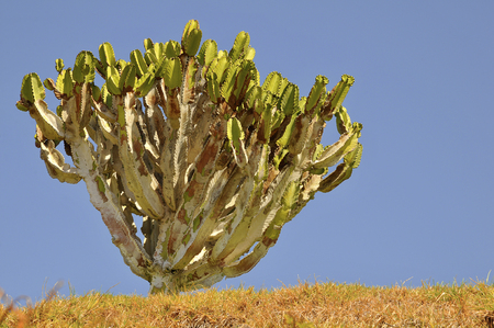 canariensis: Closeup of Canary Island Spurge (Euphorbia canariensis) at Tenerife in blue sky background