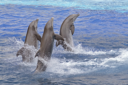 bottlenose: Three bottlenose dolphins (Tursiops truncates) standing out of the water