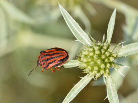 graphosoma: Graphosoma semipunctatum we thistle Eryngium genus Stock Photo