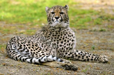 acinonyx: African Cheetah (Acinonyx jubatus) lying on grass