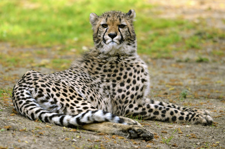 jubatus: African Cheetah (Acinonyx jubatus) lying on grass