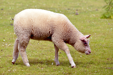 ovis: Juvenile sheep (Ovis aries), variety of French Cotentin, walking on grass seen from profile