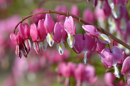 bleeding heart: Red bleeding heart flowers (Lamprocapnos spectabilis)