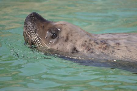 jubatus: Closeup steller sea lion (Eumetopias jubatus) swimming