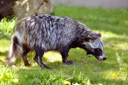 canid: Raccoon dog (Nyctereutes procyonoides) on grass seen from profile