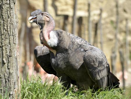 caruncle: Andean condor (Vultur gryphus) on grass