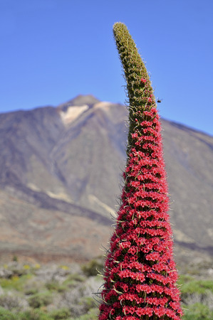 lamiales: Closeup red tower of jewels flower (Echium wildpretii), symbolic flower of Tenerife in the Spanish Canary Islands. The Mount Teide in the background
