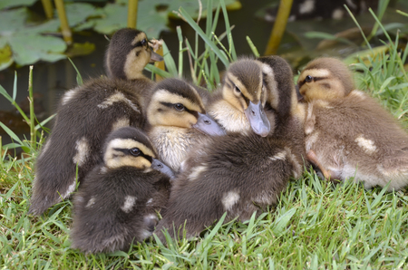 anas platyrhynchos: Six ducklings mallard (Anas platyrhynchos) lying on grass Stock Photo