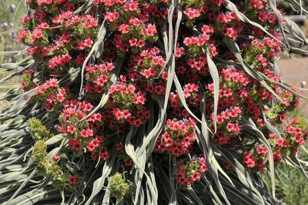 Macro red tower of flower jewels (Echium wildpretii), symbolic flower of the island of Tenerife Foto de archivo - 98426051