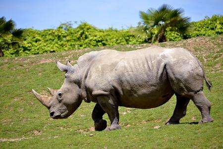 Closeup of profile white rhinoceros (Ceratotherium simum) walking on grass Banco de Imagens