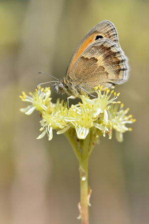 dowry: Closeup Small heath butterfly (Coenonympha pamphilus) on yellow flower viewed from profile