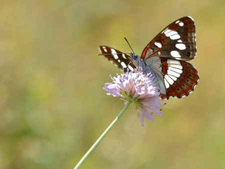 admiral: Southern White Admiral butterfly (Limenitis reducta) feeding on flower knautia Stock Photo