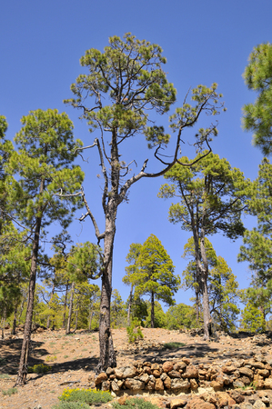 canariensis: Pine forest (Pinus canariensis) at Tenerife in the Spanish Canary Islands