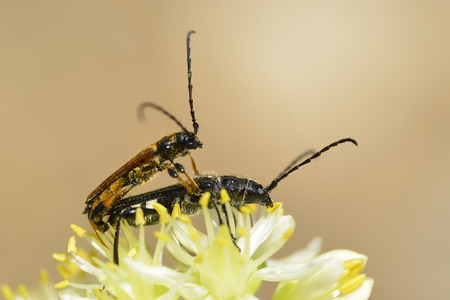 longhorn: Copulating longhorn beetles on yellow flower seen from profile