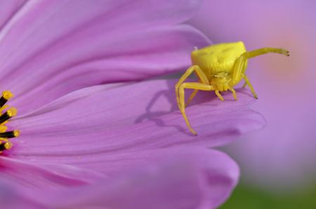 flower  crab  spider: Macro of yellow crab spider (Misumena vatia) on petal pink cosmos flower