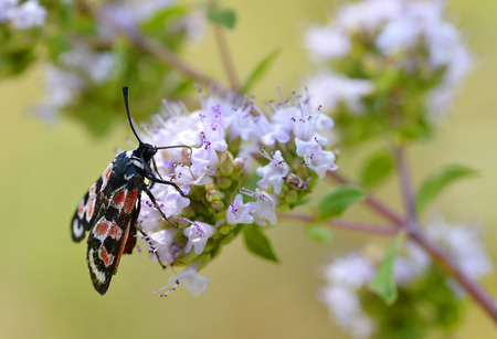 zygaena: Zygaena carniolica butterfly feeding on flower Stock Photo
