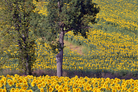 helianthus annuus: Sunflower (Helianthus annuus) field and trees in France