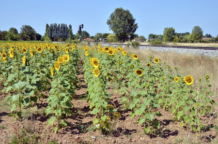 helianthus annuus: Sunflower (Helianthus annuus) field next to a railway in France in the Tarn department in France Stock Photo