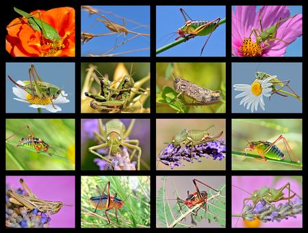 Sixteen mosaic photos of grasshoppers