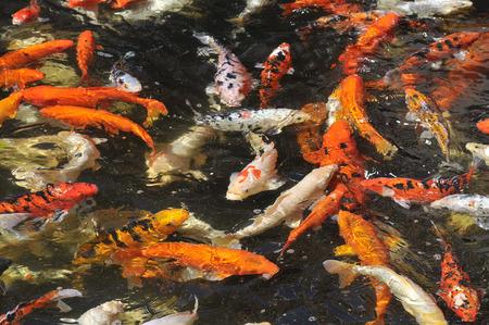 cyprinidae: Many koi carp (Cyprinus) multicolor area in area of ??? ?
