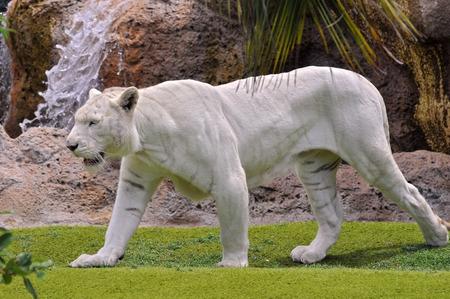 panthera tigris: Very rare white tiger (Panthera tigris) seen from profile walking on grass