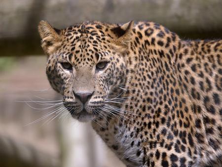 pardus: Portrait of Sri Lanka leopard (Panthera pardus Kotiya) view of the front Stock Photo