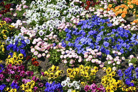 violas: Background of flowerbed of multicolored violas
