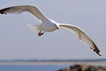 larus: Closeup herring gull (Larus argentatus) in fly view of face