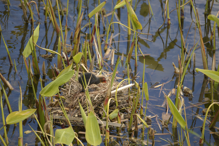 fulica: Young Eurasian Coot (Fulica atra) nest in icts Among aquatic plants