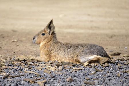 patagonian: Patagonian mara (Dolichotis patagonum) lying on gravel