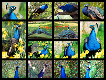 pavo cristatus: Fourteen mosaic pictures of Indian peafowls (Pavo cristatus)