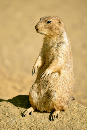 dog rock: Closeup black-tailed Prairie Dog (Cynomys ludovicianus) standing on rock Stock Photo