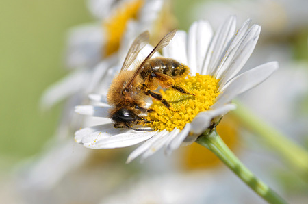apis: Macro of honey bee (Apis) feeding on white flower seen of profile anthemis