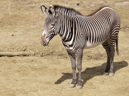 suelo arenoso: Grevy Cebra de la cebra imperial de oro (Equus grevyi) de pie en el suelo arenoso