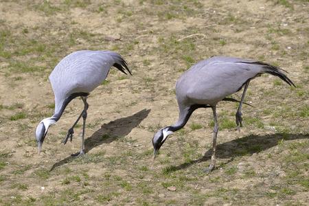 anthropoid: Two lady cranes (Anthropoides virgo) walking Stock Photo