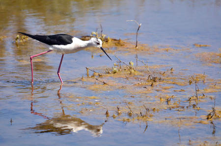 himantopus: Closeup Black-winged Stilt (Himantopus himantopus) looking for food in the marshes of gulf of Morbihan in France