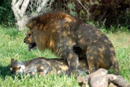 copulate: Closeup A couple of breeding lions (Panthera leo)