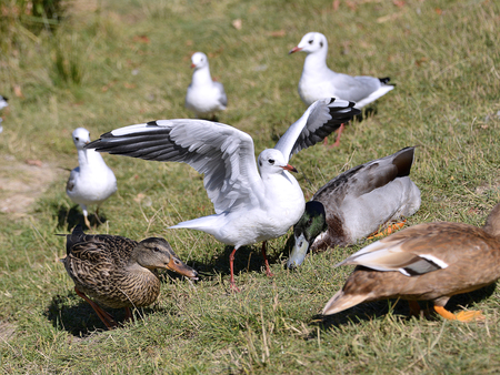 ridibundus: Closeup Black-headed Gulls (Larus ridibundus) and ducks on grass in Arcachon Bay in France