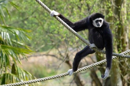handed gibbon: The lar gibbon (Hylobates lar), Also Known As the white-handed gibbon, it ropes