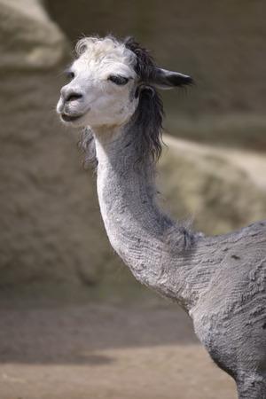 Portrait of gray alpaca (Vicugna pacos)