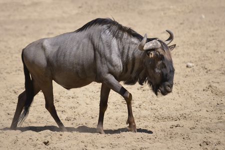 wildebeest: Blue wildebeest (Connochaetes taurinus) walking on sandy ground seen from profile