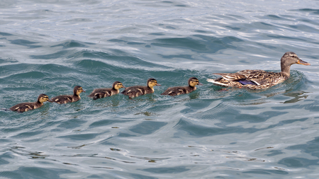 Female mallard duck (Anas platyrhynchos) swimming in Indian file with icts ducklings on a lake