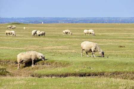 bovid: sheep grazing salt meadows at Mont-Saint-Michel in Lower Normandy in France