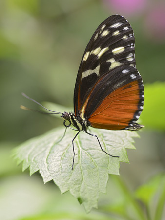 longwing: Tiger Longwing butterfly (Heliconius hecale) feeding on leaf and seen from profile Stock Photo