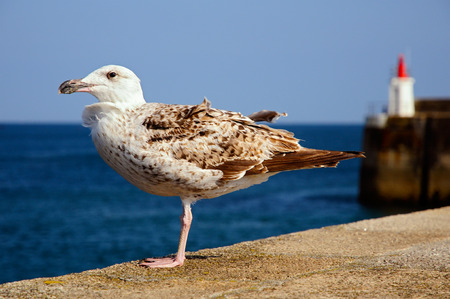 palmate: Closeup juvenile herring gull (Larus argentatus) perched on a wall, in Brittany in France