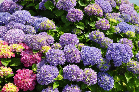 hydrangea macrophylla: Closeup of red and blue Hydrangea macrophylla flowers (Hydrangea gold)