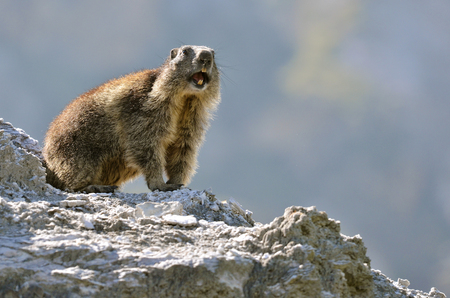 Alpine marmot (Marmota marmota) on rock Giving a cry of alarm, in the French Alps, Savoie department at La Plagne