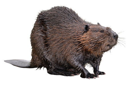 North American Beaver (Castor canadensis) isolated on white background Stok Fotoğraf